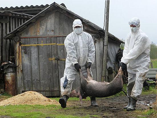 Ростовской области грозит режимЧС из-за африканской чумы свиней
