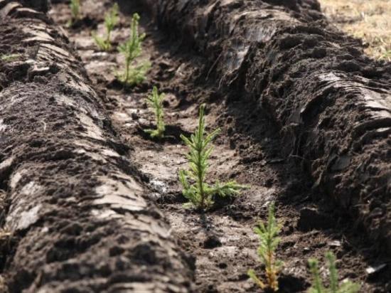 Кто ж его посадит? 60 миллионов рублей вложили лесопромышленники в лесовосстановление